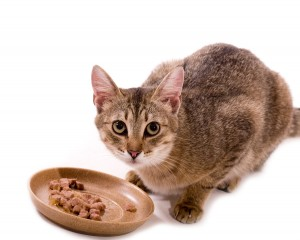 bigstock-Beautiful-bengal-cat-eats-cat--30932675