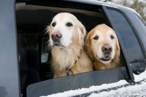 Golden Retriever Car Ride