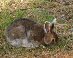 Snowshoe hare 0038
