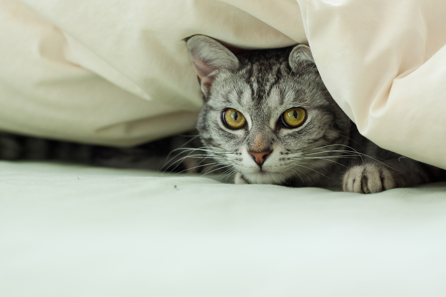 A young grey tabby cat hiding underneath a quilt on a bed.