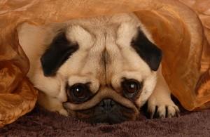 Pug Hiding Under Blanket