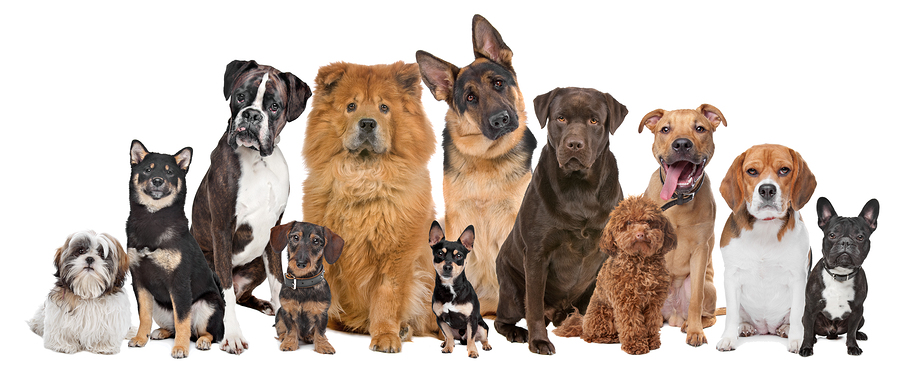 bigstock-Group-Of-Twelve-Dogs-31556210