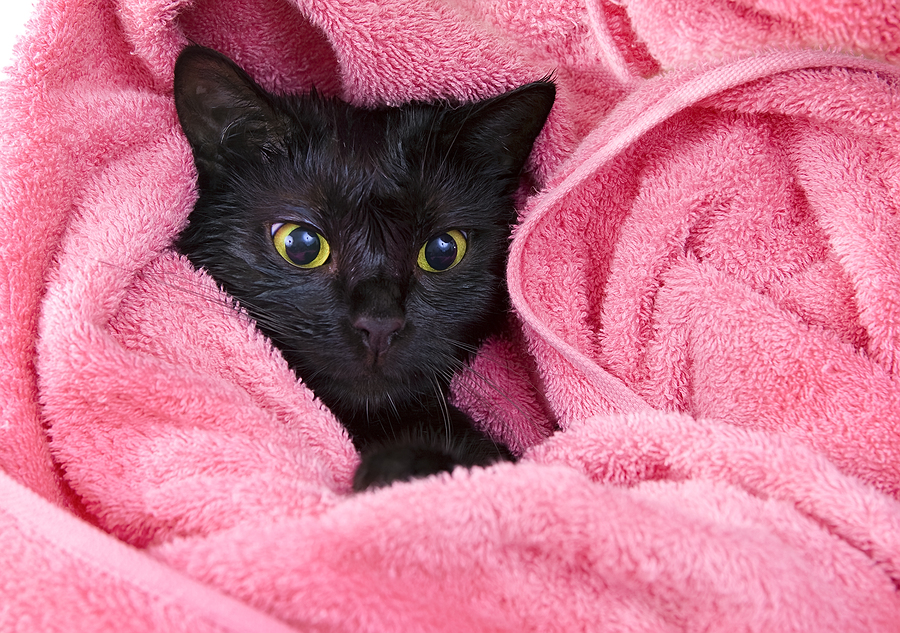 Cute Black Soggy Cat After A Bath