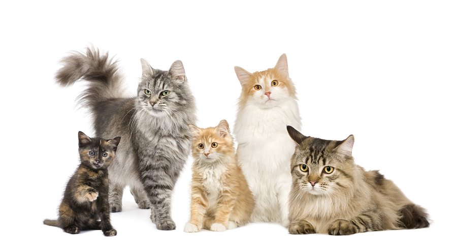 Group of 5 cats in a row : Norwegian Siberian and persian cat in a row in front of a white background
