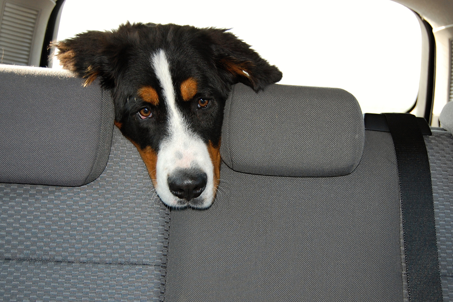 Bernese mountain dog during common way by car.