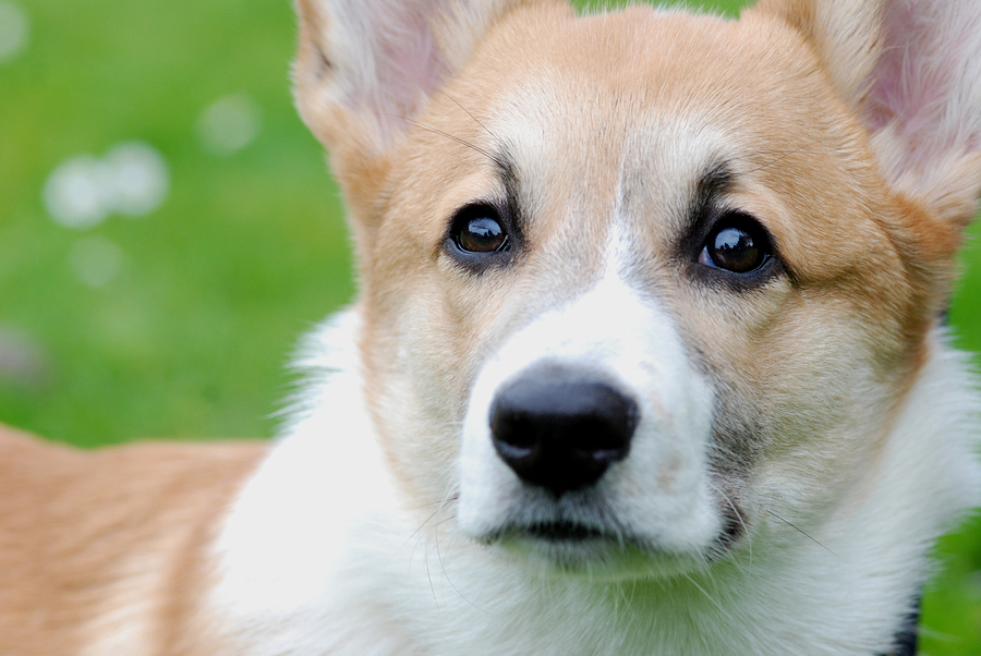 Pembroke Welsh Corgi.  Male, red color.  5 months.  Name: Snowball.  Owner: Vanessa Chien, San Francisco CA