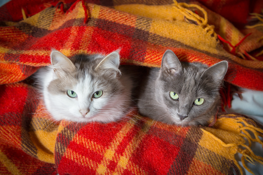 two cats sitting under orange plaid and looking to camera