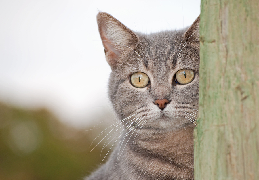 Blue tabby cat peeking from behind a fence post