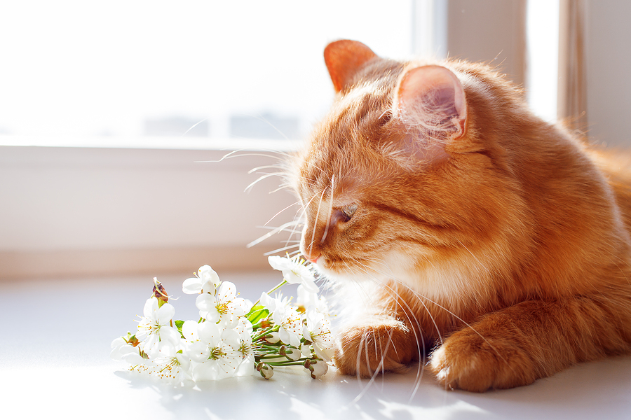 The red cat smells a bouquet of cherry flowers. Cozy spring morning at home. Cute background with place for text.