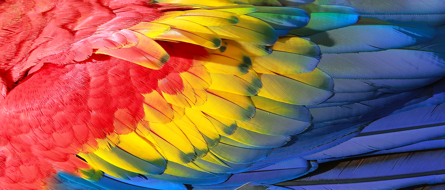 Parrot feathers red yellow and blue exotic texture