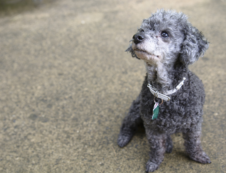 A black poodle sits on concrete wearing a white collar studded with rhinestones