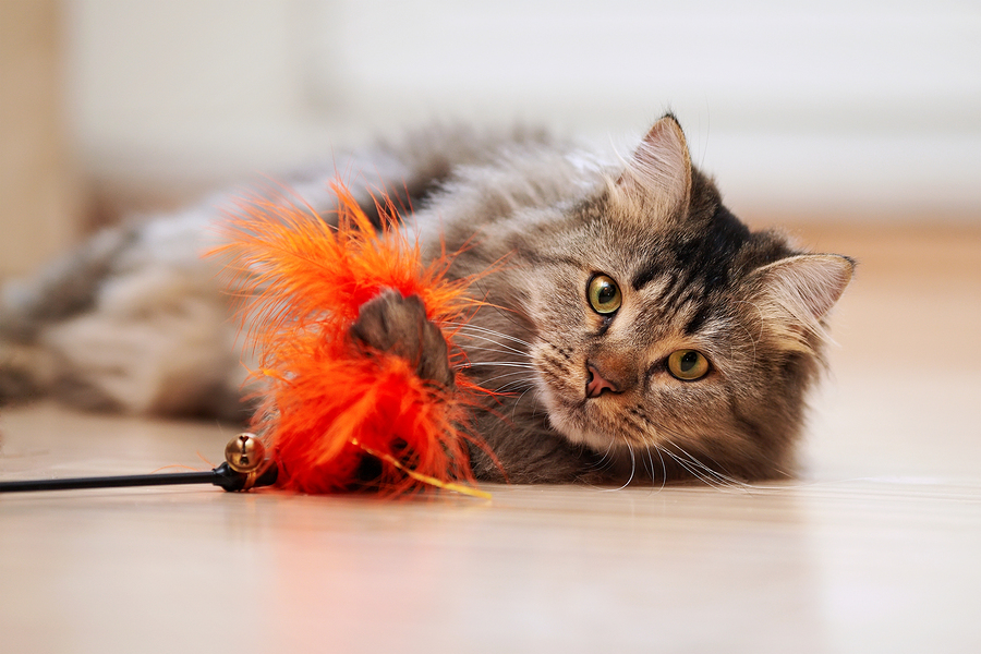 The fluffy cat plays with a toy. Portrait of a fluffy striped cat. Striped not purebred kitten. Small predator. Small cat.
