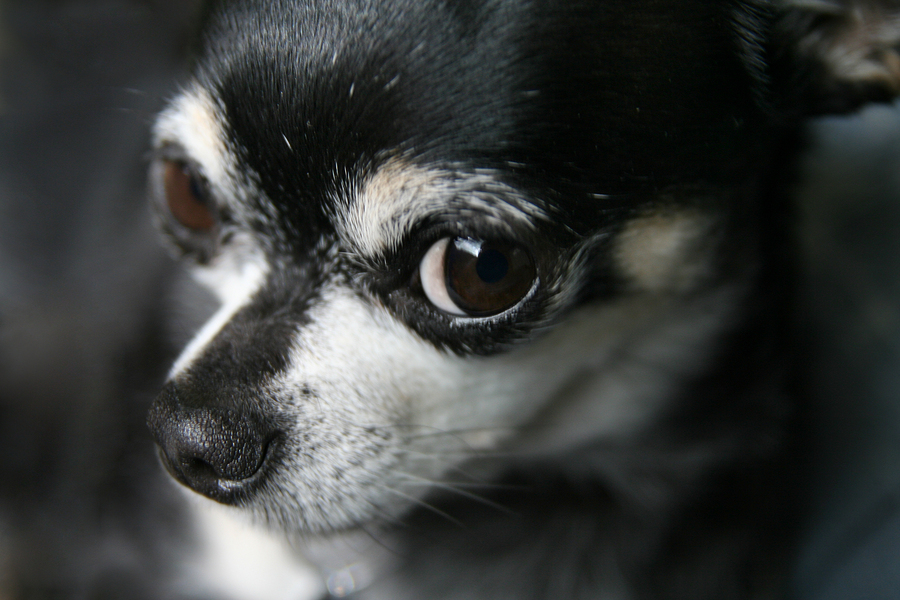bigstock-a-cute-chihuahua-looking-at-th-36722014 (from Dell 2016)