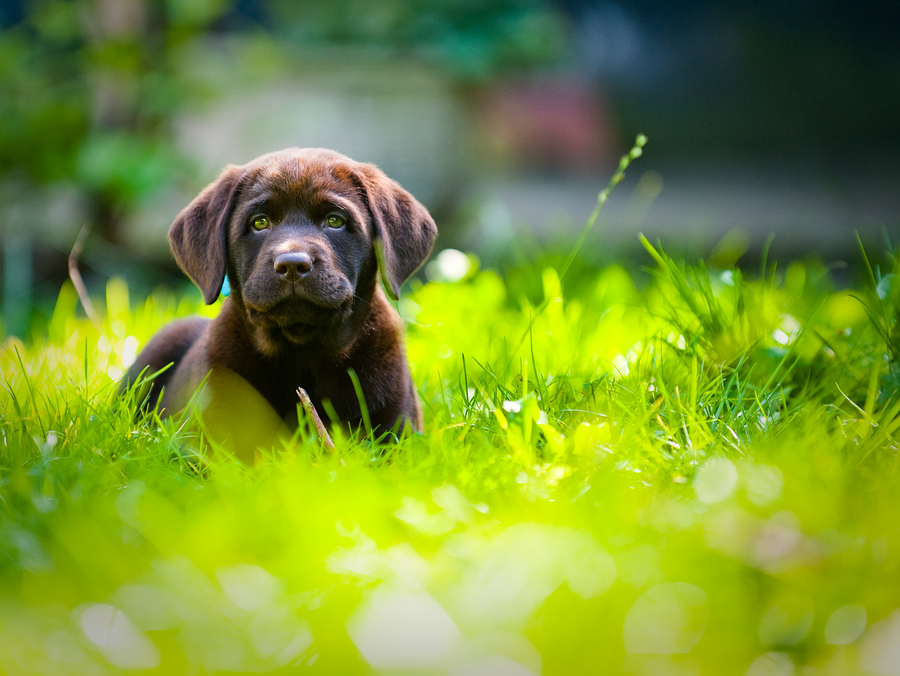 Cute Labrador Puppy Close Up Playing In green grass in the summer time