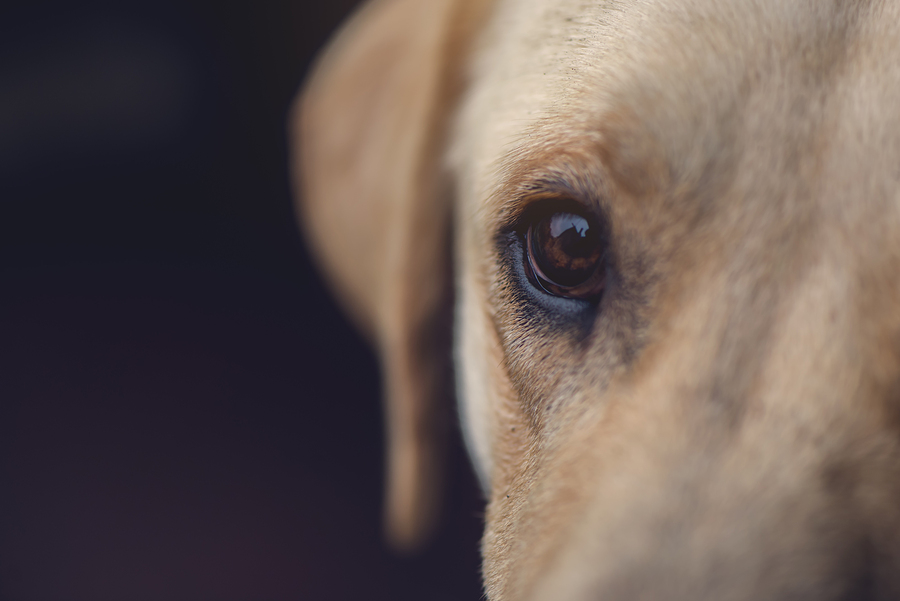 Close up of labrador retriever dog eye selective focus with shallow depth of field