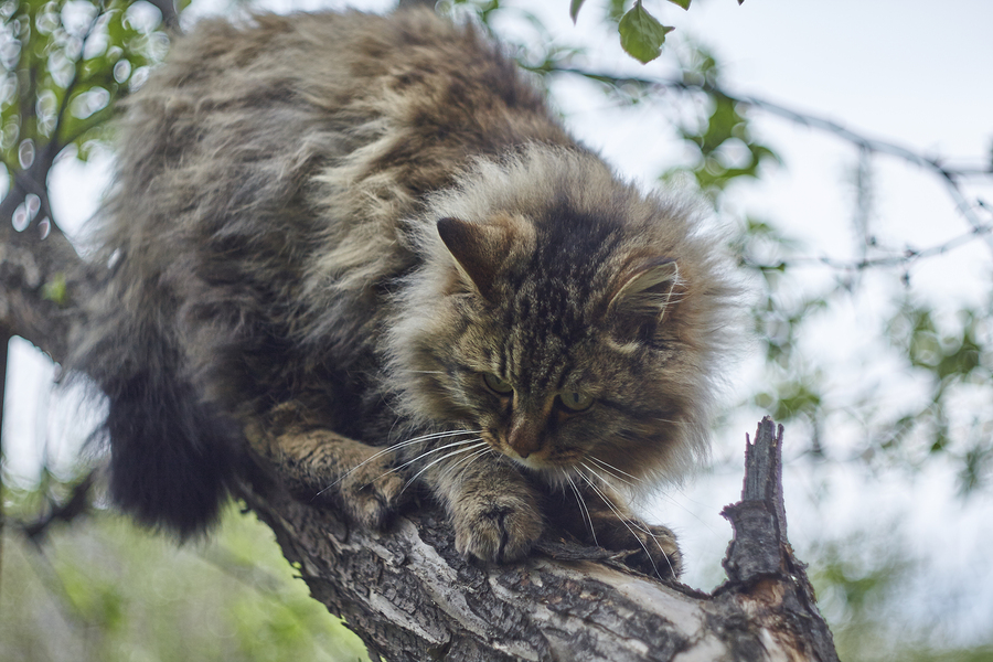 Siberian cat is sitting on apple tree and watching down. Bokeh background. Nice cat brown cat.