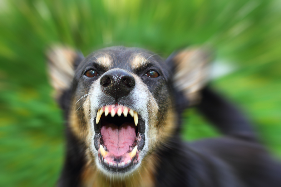 Barking enraged shepherd dog outdoors over green background