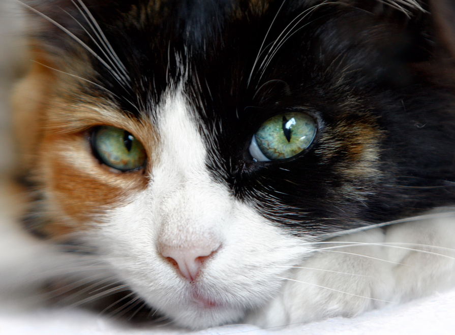 Why male calico cats are as rare as hens' teeth - Dr  Marty