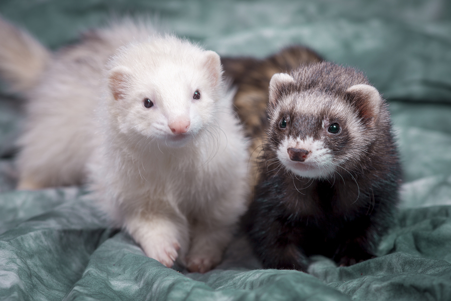 Two small ferrets laying on cstudio cloth in a cute portrait.