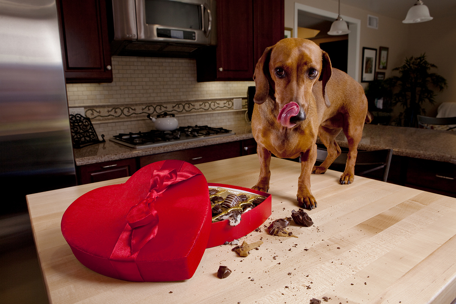 Dog eating chocolates from heart shaped Valentine's box on kitchen table