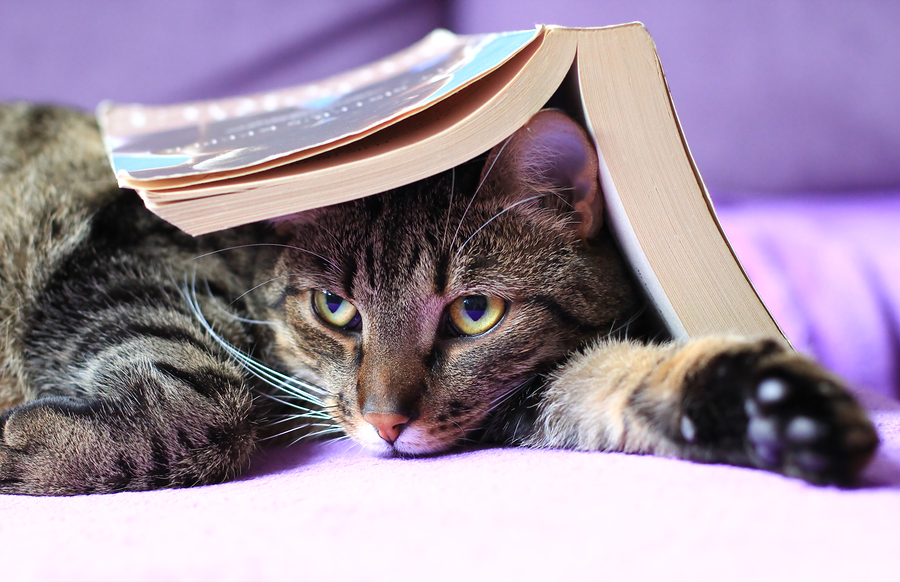 tabby cat with a book on its head reading