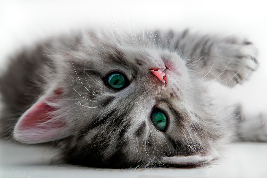 kitten looking at you upside down