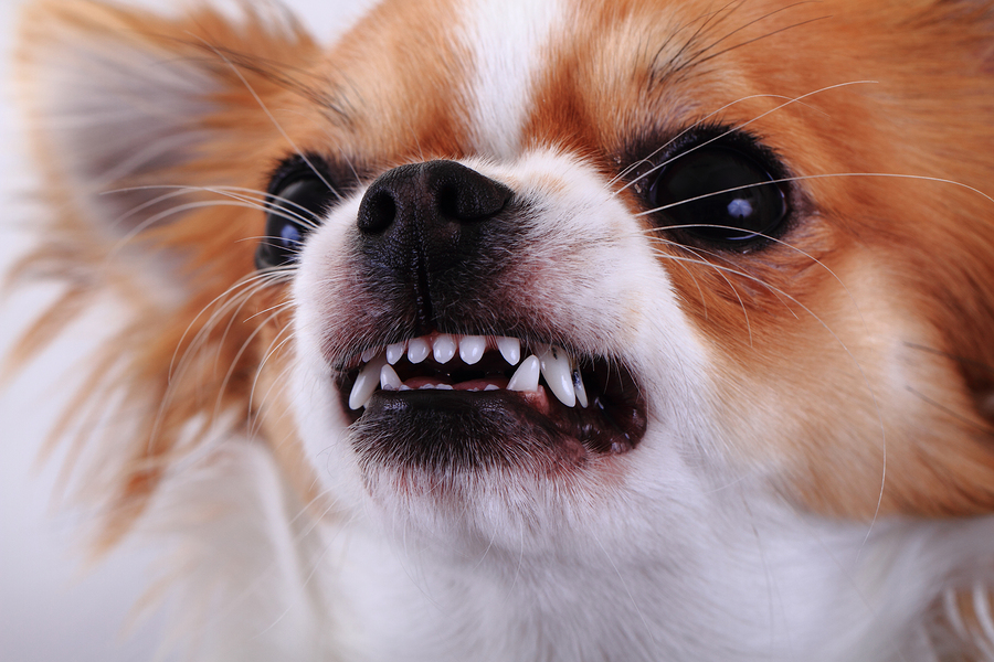 What Dog Owners Need To Know About Reverse Sneezing Dr Marty Becker