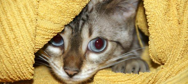 A Bengal kitten hiding under a yellow towel