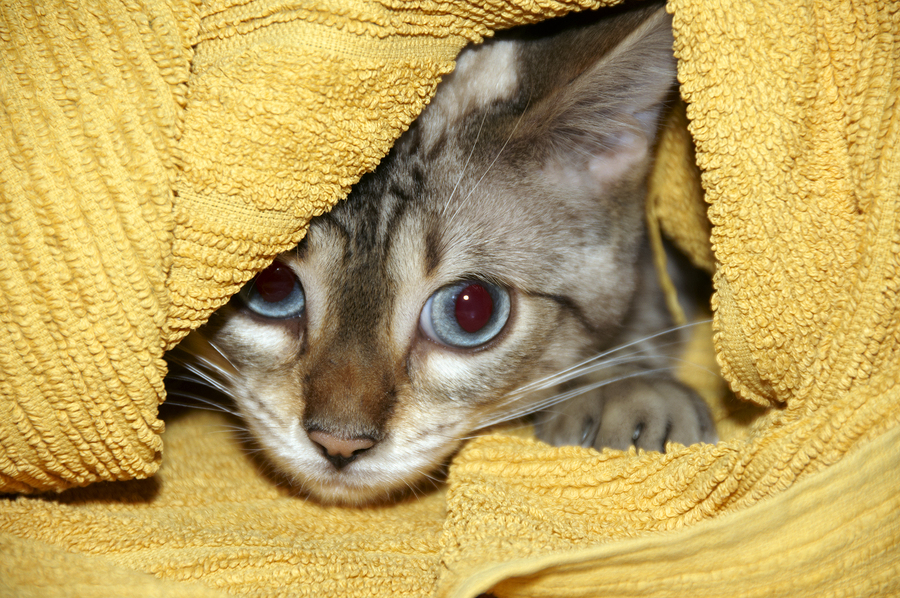 A Bengal kitten hiding under a yellow towel