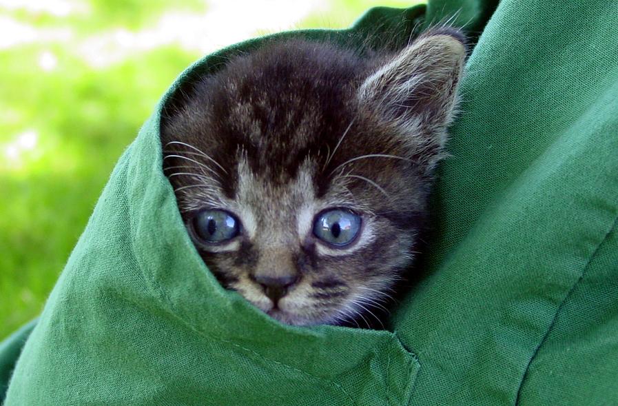 kitten in veterinary scrub pocket