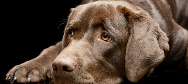 Sad Labrador Retriever