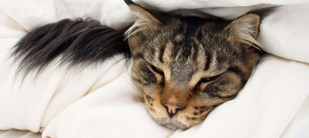 Brown Tabby Maine Coon cat in between 2 layers of duvet on the bed.