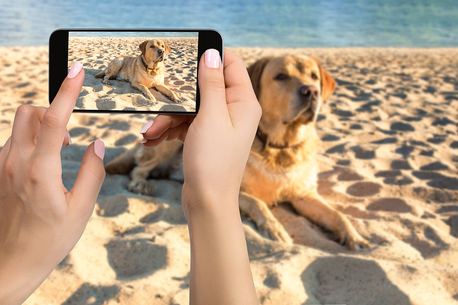 Woman hands with mobile cell phone to take a photo of labrador dog lying on the sand.