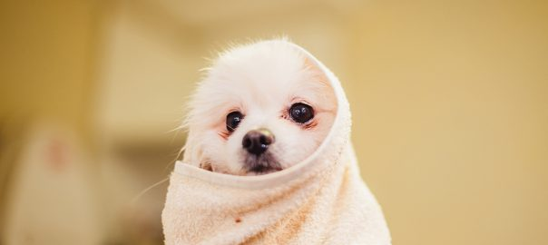 Pomeranian wrapped in a towel
