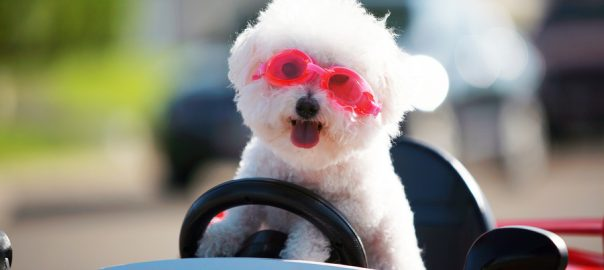 Happy Dog in car. Bichon Frise Dog wears Hot Pink Goggles and enjoys a ride in a pedal car.