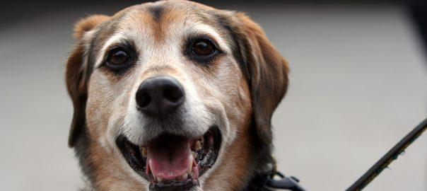 Happy senior dog on leash