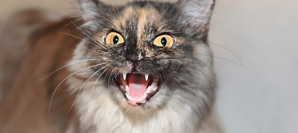 aggressive cat shows teeth and hisses