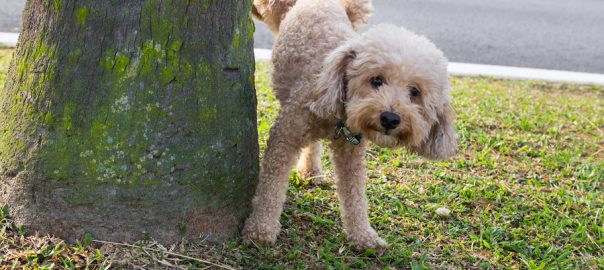 Male poodle peeing on tree trunk