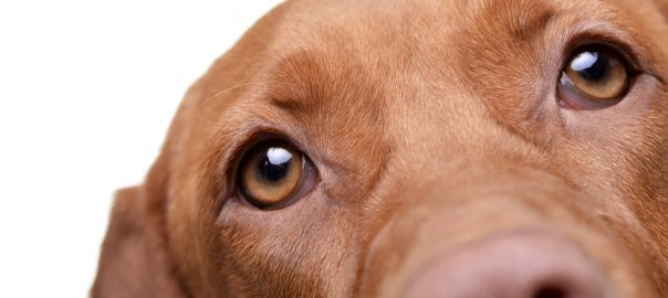 red dog's eyes
