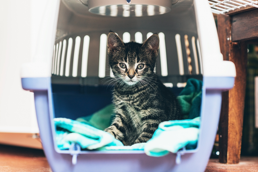Cute little tabby kitten sitting in a travel crate on a blue blanket