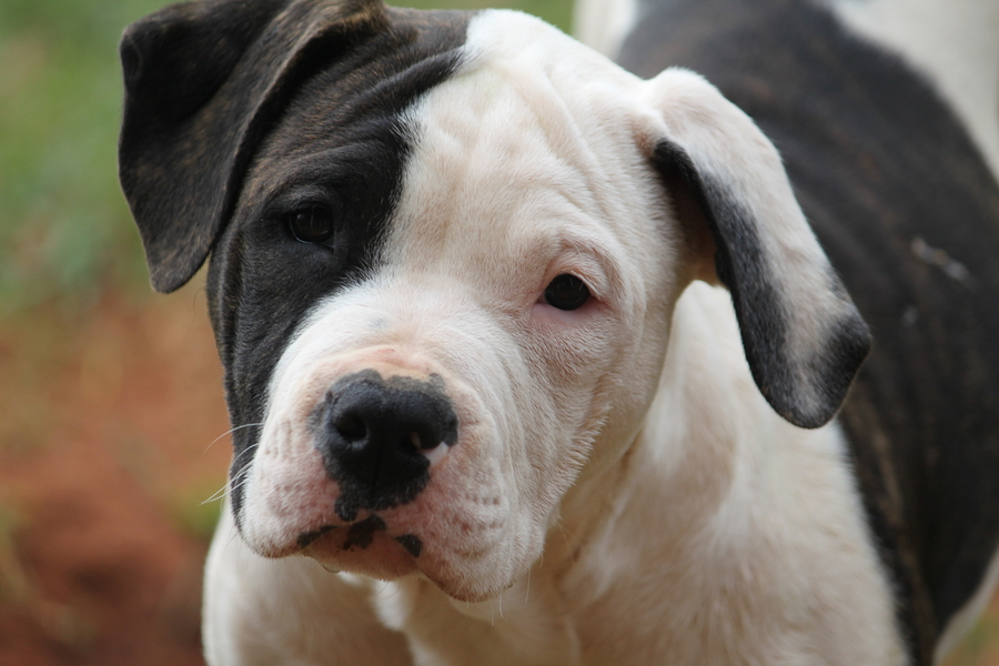 American Bulldog puppy staring with concerned sad look