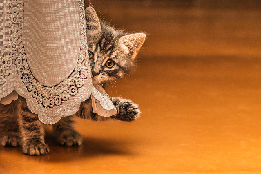 Little tabby kitten hiding behind a curtain.