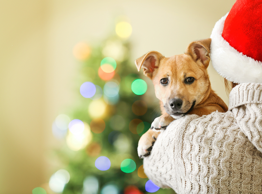 Woman in Santa hat holding at shoulder small funny cute dog
