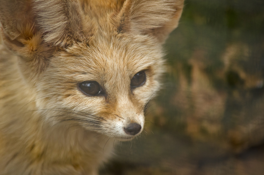 close up of a fennec fo