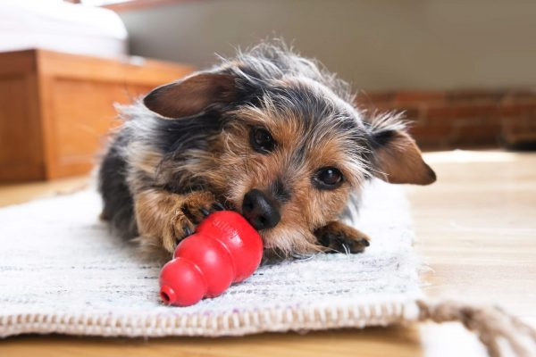 Dog with stuffed Kong toy
