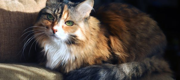 Domestic cat. Beautiful old cat with green, smart eyes. Three-color cat's hair: white, red and black The cat is lying on the couch.