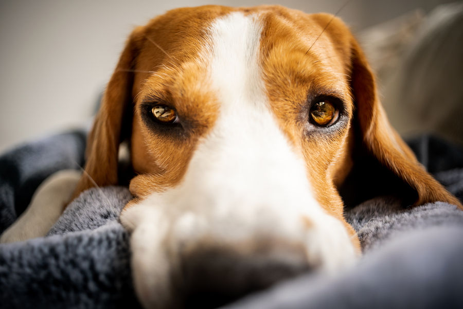 Beagle looking sad or sick
