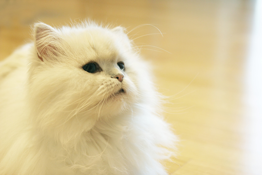 white longhaired Persian cat
