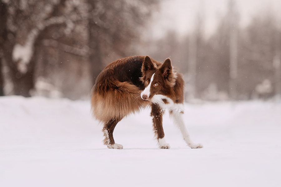 border collie dog chasing his own tail outdoors