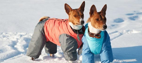 Two basenji young dogs in funny coats playing in the snow